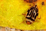 Hygrotus versicolor